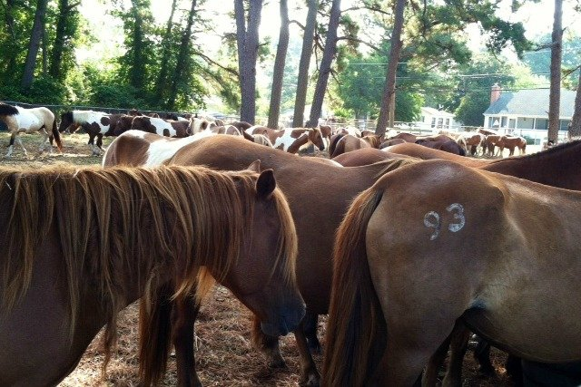 Chincoteague VA Pony Auction