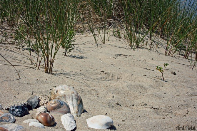 Eastern_Shore_Seashells_4_2