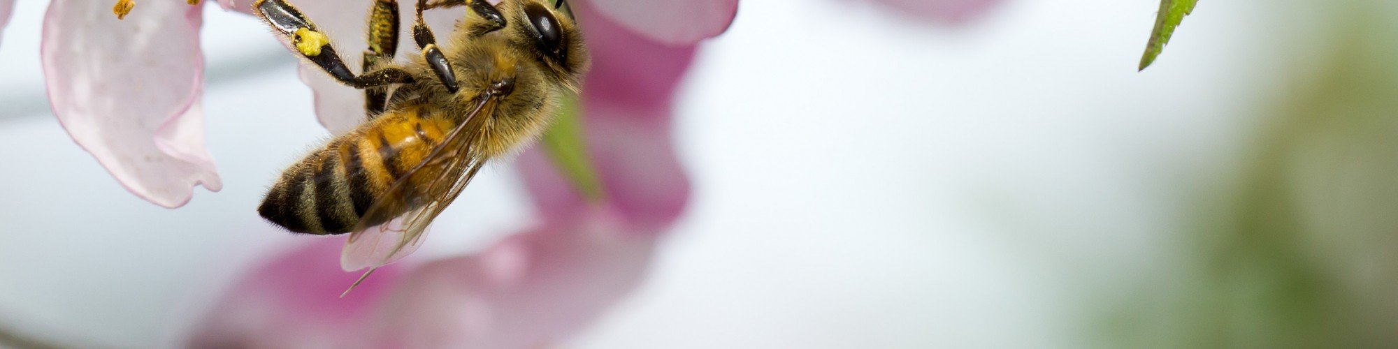 Honey_Bee_Cherry_Blossom_Shorebread2