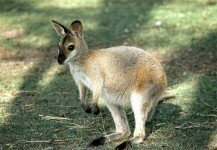wallaby_salisbury_MD_zoo2