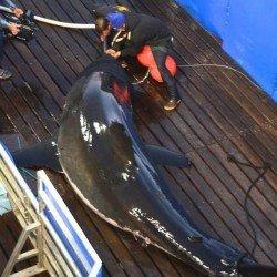 Ocean City Md Shark Tracker