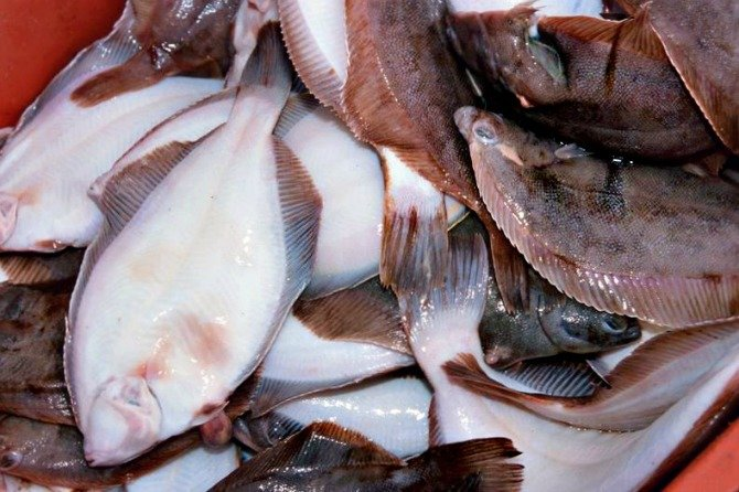 Flounder season now open in maryland reduced size minimum for Picture of a flounder fish
