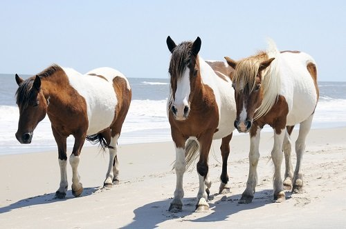 Top Ten Reasons Chincoteague Should be Budget Travel's ...