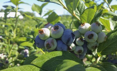 Garden of Eden Blueberries