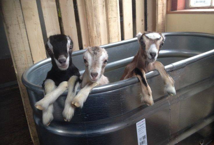 goats in a metal wash bin at the wicomico county fair