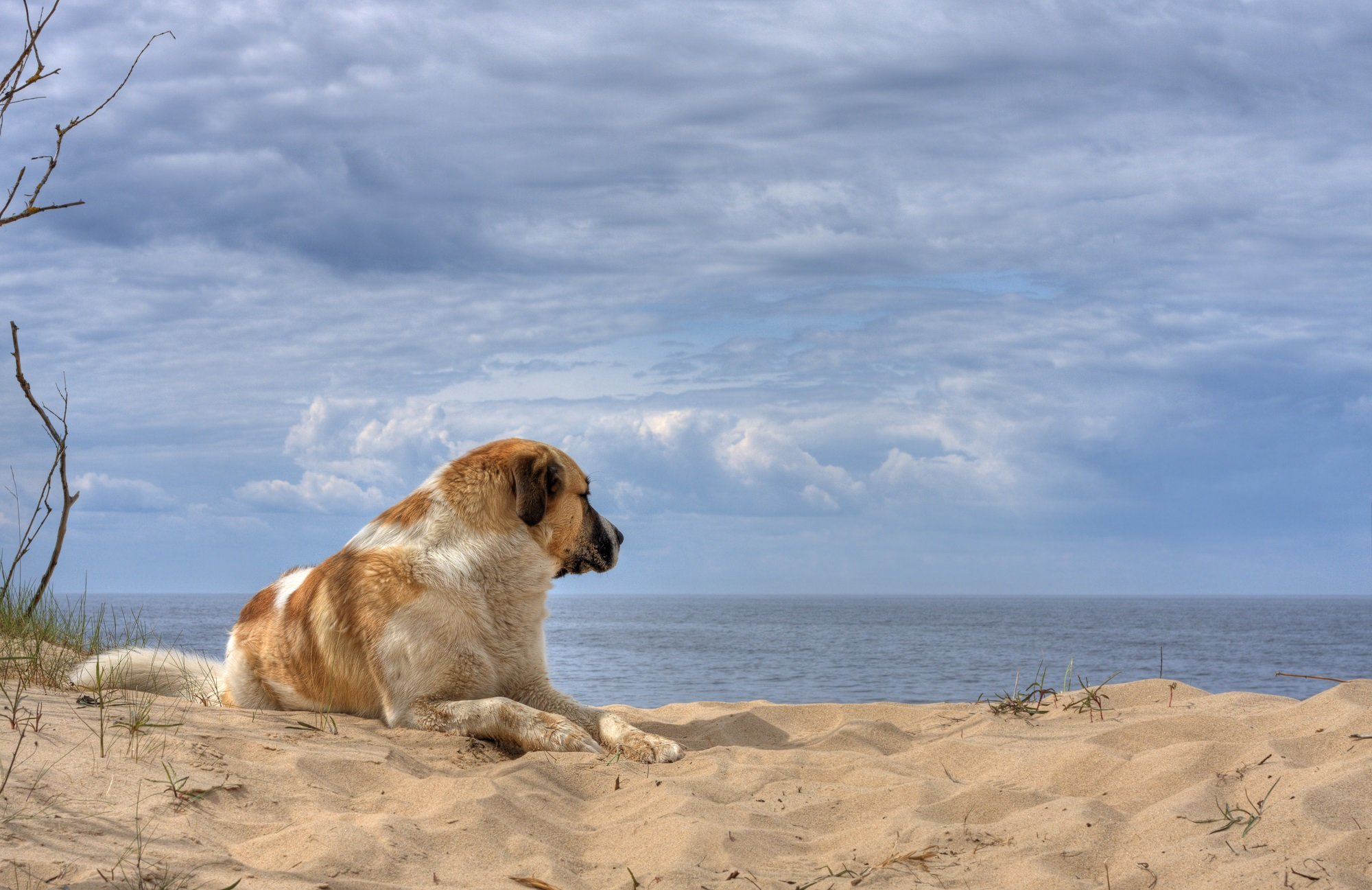 saint-bernard-dog-on-beach_12417292