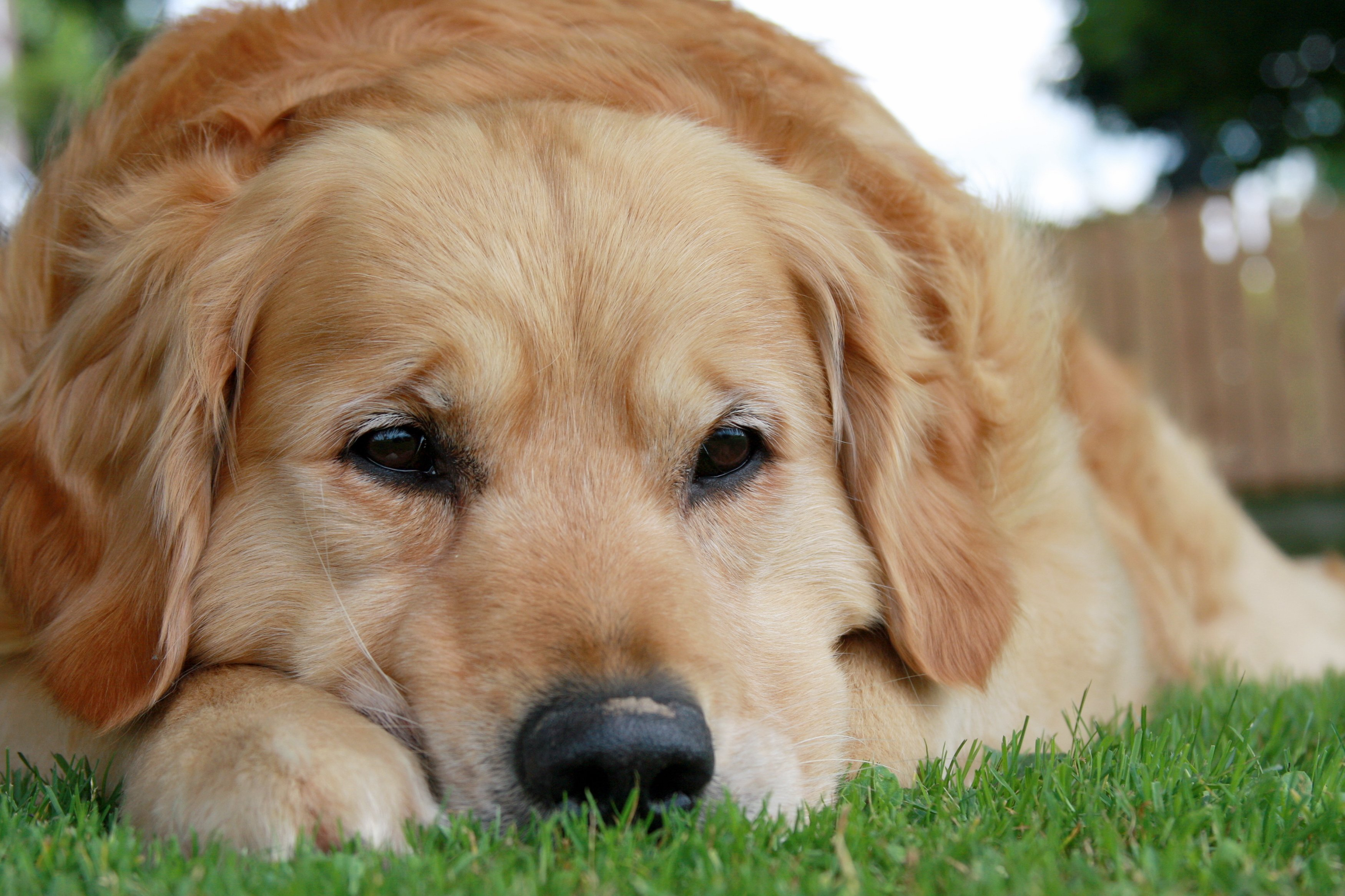golden-retriever-laying-down-up-close