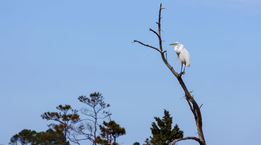 White Heron in Tree