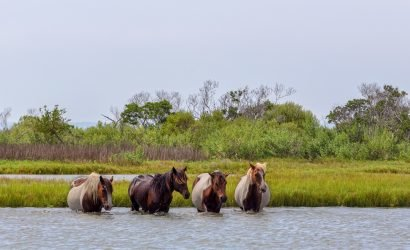 wild horses crossing river at assateague island
