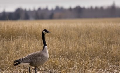 Canadian Goose in Field