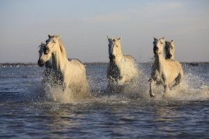 White Ponies Racing Through Water
