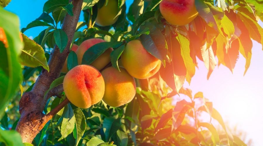 Bright Orange and Pink Peaches Hanging on Tree