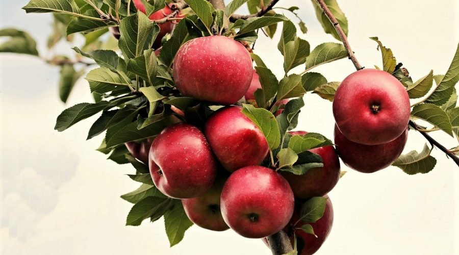 bunch of red apples on branch
