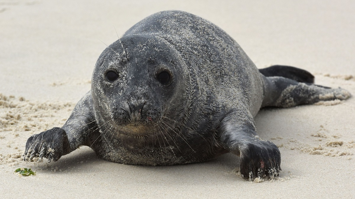 baby gray seal on a sandy beach